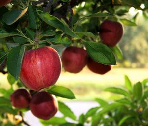 GartenBaumschule Morjan  Sortiment  Obstgehölze