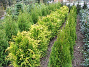 Sichtschutz immergr ne bepflanzung gibt diesem garten - Immergrune pflanzen garten ...